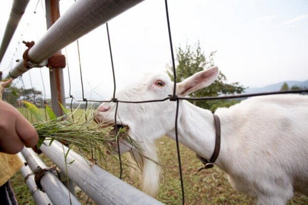 The Weirdest Fainting Goat GIFs