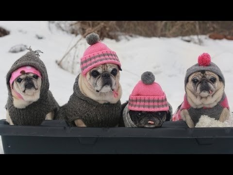 Pugs Sledding Party Video Is Too Cute