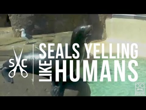 Seals Yelling Like Humans (video)