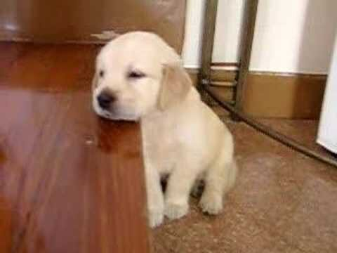 Adorable Golden Retriever Puppy falling Asleep (video)