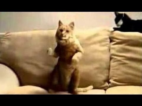 Dancing Cat's Compilation! (video)