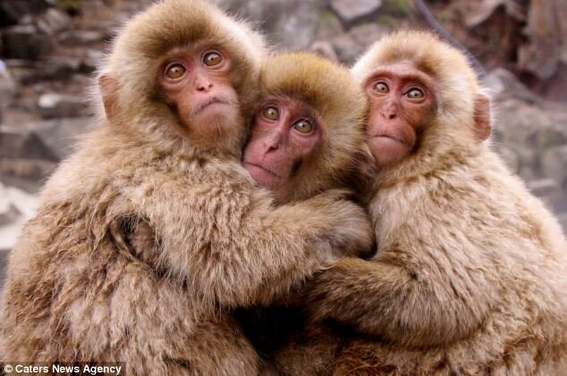 Super-cute snow monkeys cuddle together for warmth