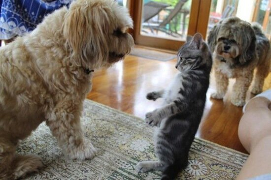 Cat VS Dog Stare Downs, Enemies
