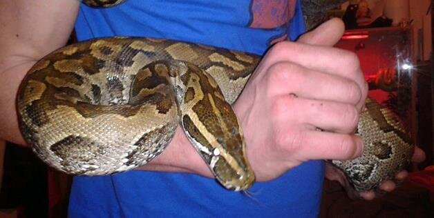 Drunk Man Buys Python, Catches It Trying To Eat His Friend