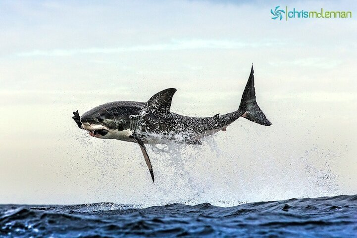 Perfectly Timed Photos of Great White Sharks Breaching By Chris McLennan