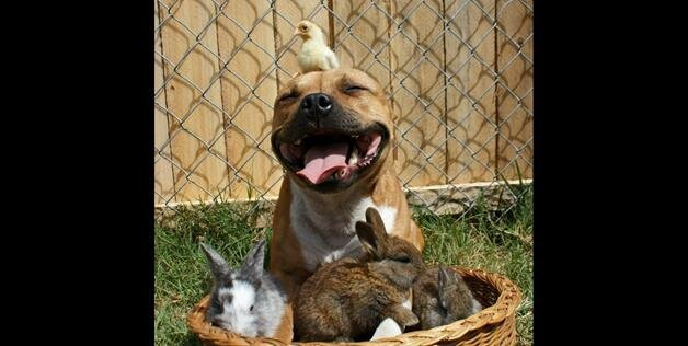 Boom The Adorable Pit Bull Poses With Bunnies And Chicks For Spring and Easter Photos