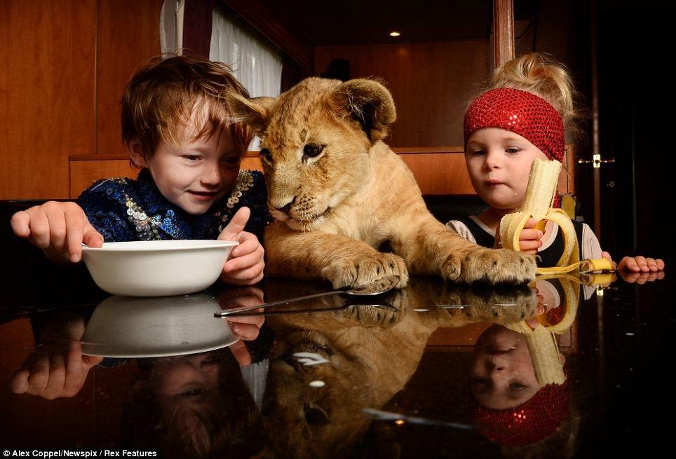 The Boy With The Little Big Cat, Pet Lion Cub