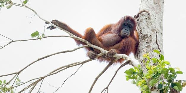 Orangutans Rescued After Borneo Forest Is Destroyed