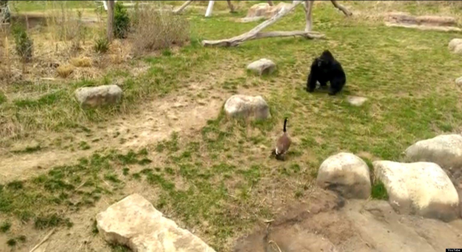 Hilarious Goose vs. Gorilla Video