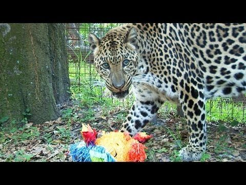 Watch This Leopard Go To Town On A Piñata (Video)
