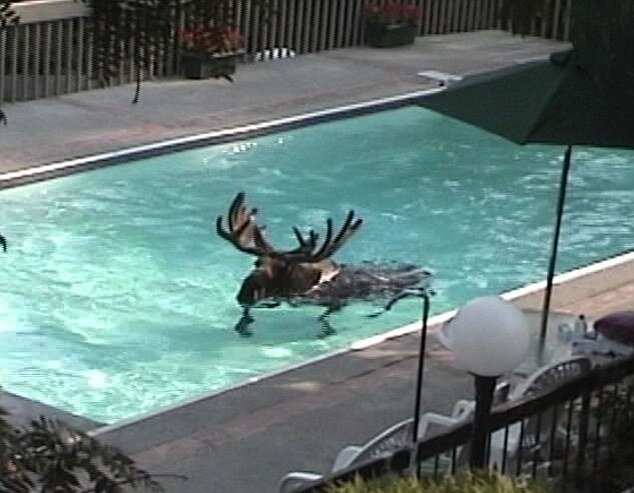 Shocked group film moose swimming in the pool of their holiday villa