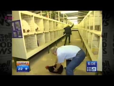 Reporter Terrified By Rooster Gone Wild