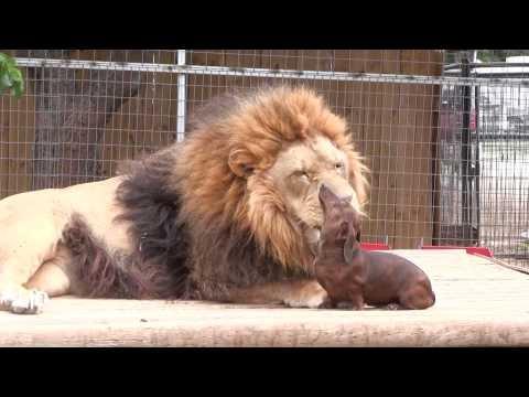 Little wiener dog licking a 500-pound lion's teeth