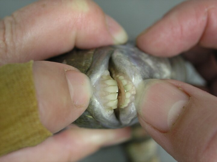 Human Toothed Fish! Would You Try It?