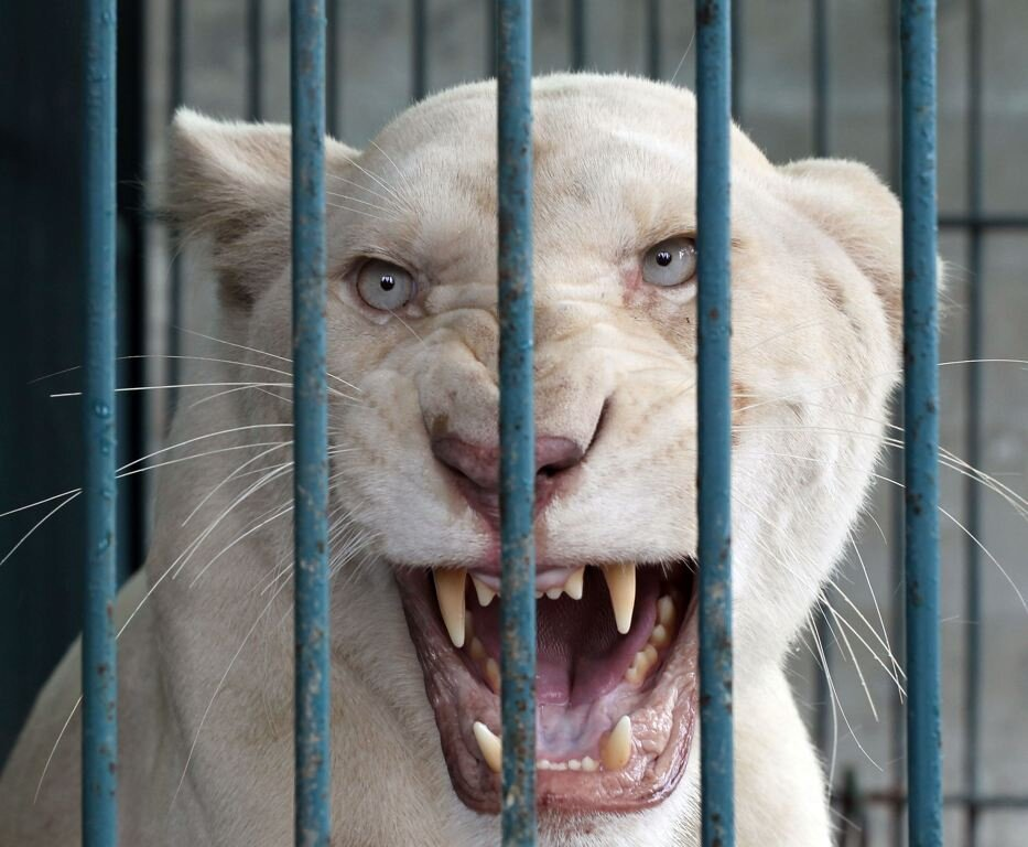 Man Arrested With 14 Rare White Lions