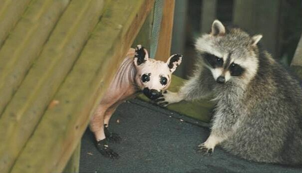 This is What a Bald Raccoon Looks Like