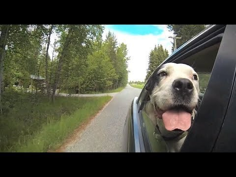 Dogs Hanging Their Heads Out of Car Windows Will Brighten Your Day