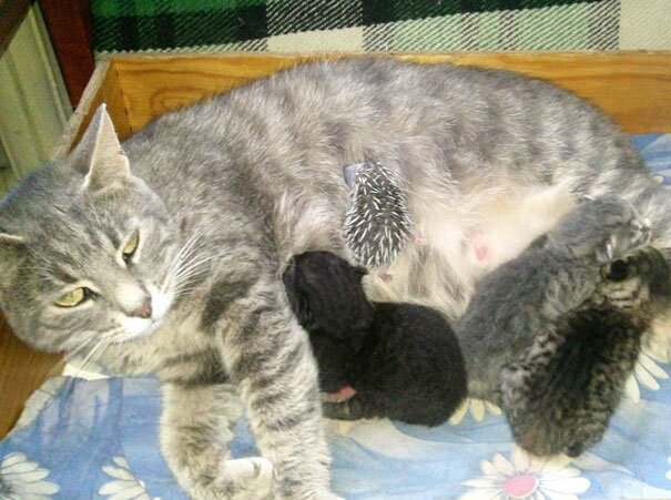 Cat Adopts An Abandoned Hedgehog