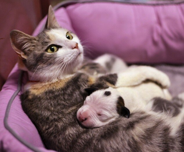Cat Adopts Orphaned Pit Bull Pup