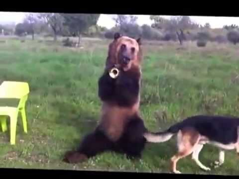 Trained Brown Bear Does Unbelievable Tricks - Only In Russia