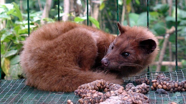 Most Expensive Coffee in the World: Kopi Luwak $90 a Cup