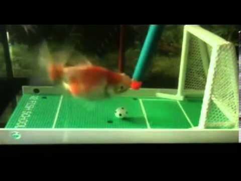 Goldfish Named Span Can Play Soccer