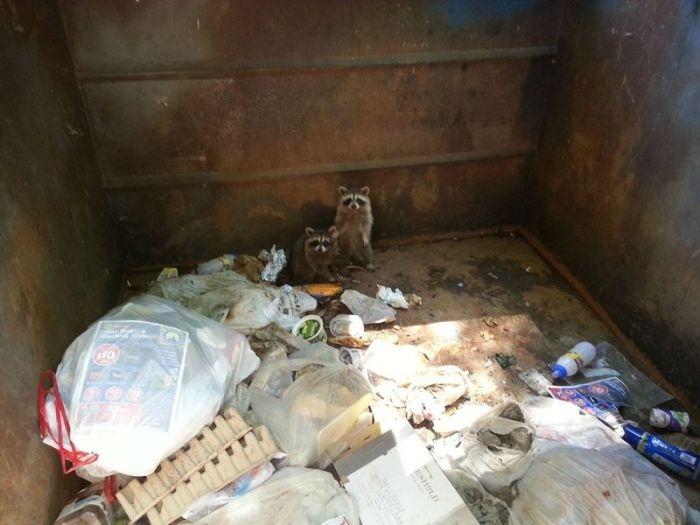 Raccoons Rescue