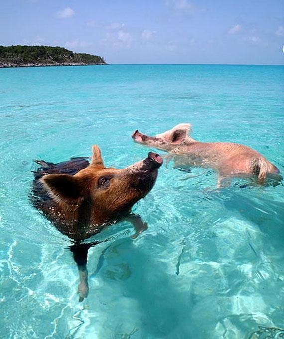 Bacon Beach: Island Of Swimming Pigs