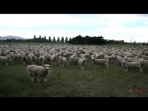 Video Proves Indignant Sheep Will Protest Anything