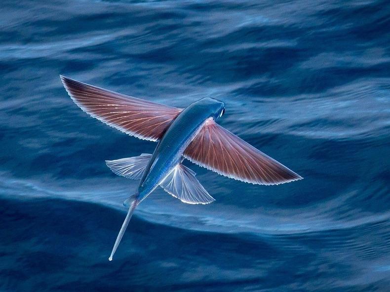 Exocoetidae: The Fish That Flies