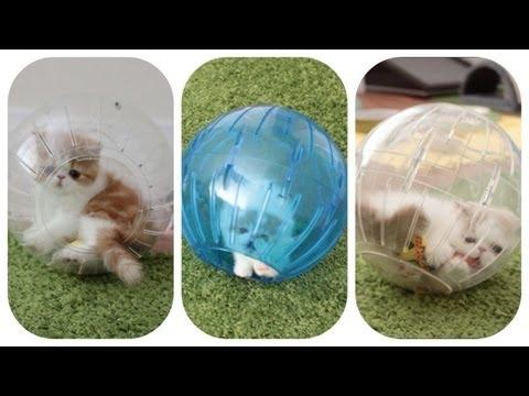 Kittens In Hamster Balls