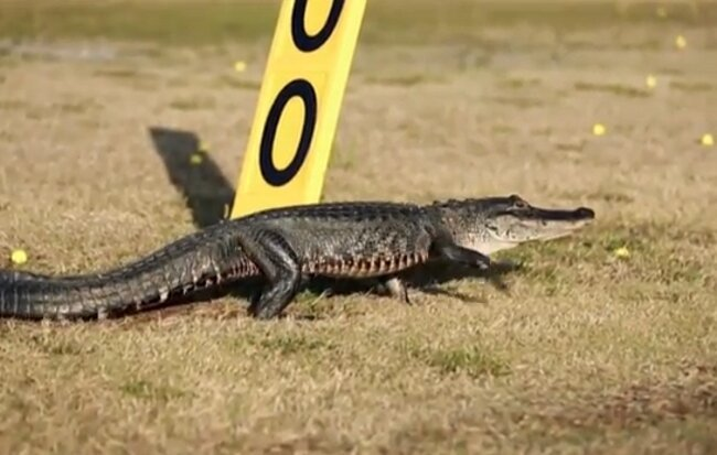 Watch This: It's Time To Ban Alligators From Golf Courses Already