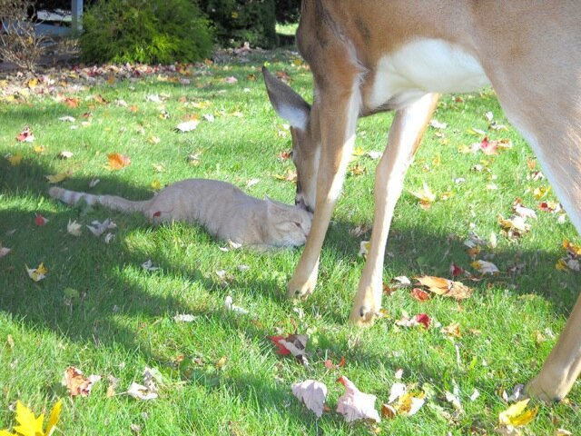 What Happens When A House Cat Meets A Wild Deer?