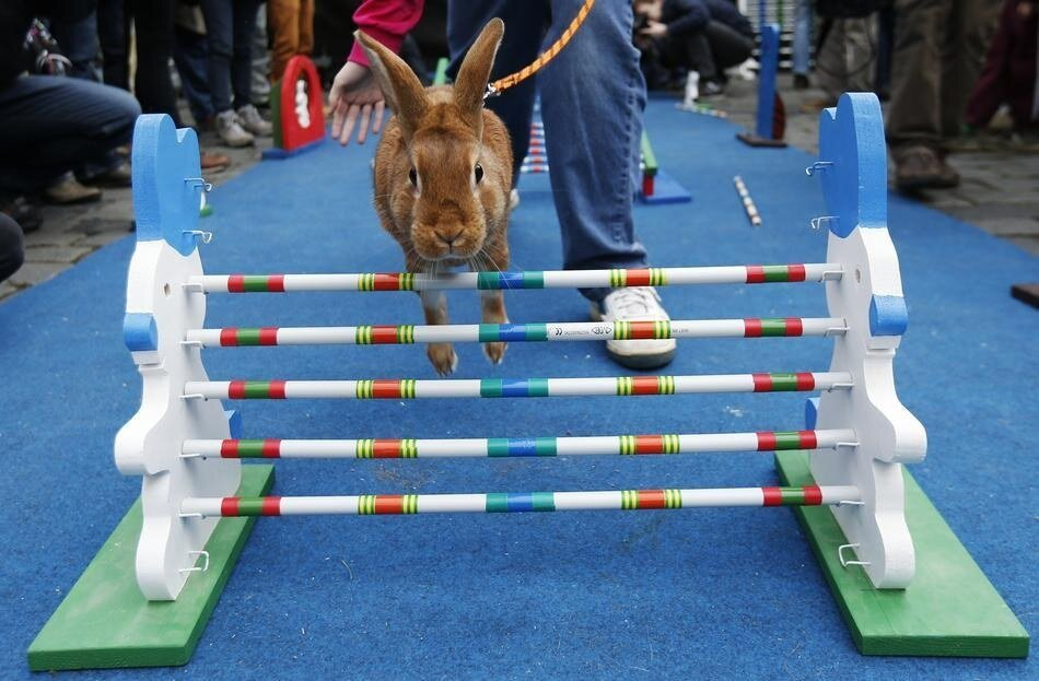 Rabbits Take Part In Obstacle Course In Prague