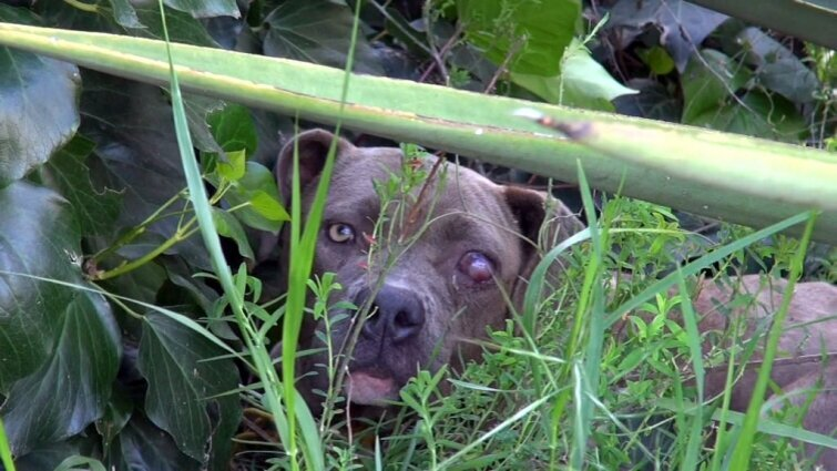 Transformation of half-blind starving pit bull left for dead in a park