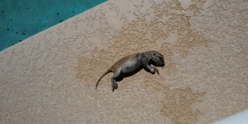 What This Pool Repairman Did Finding A Drowned Squirrel Is Amazing