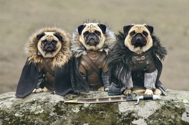 "A Couple Have Recreated ""Game Of Thrones"" With Their Pugs"