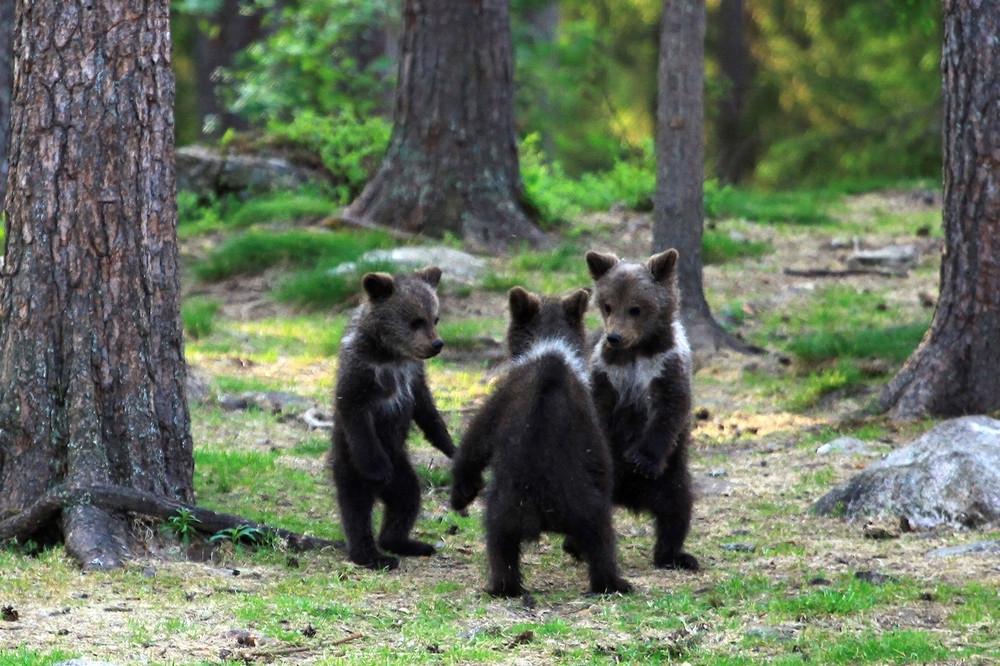 """Dancing"" Bear Cubs"