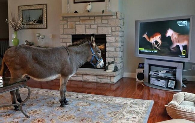This Family Lets Their Donkey Live Inside The House