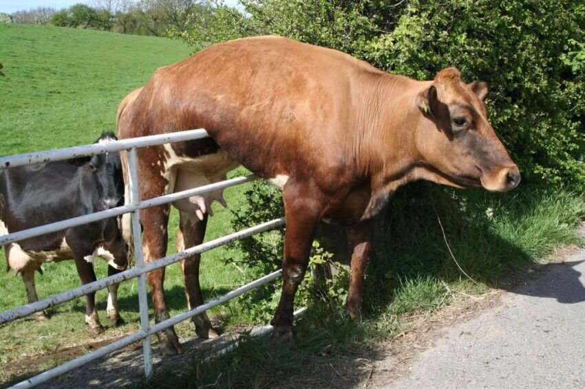 Cows May Be Adorable Farm Animals, But They Aren't The Smartest