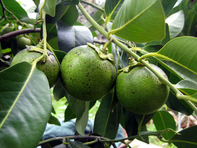A Fruit That Tastes Like Chocolate Pudding?