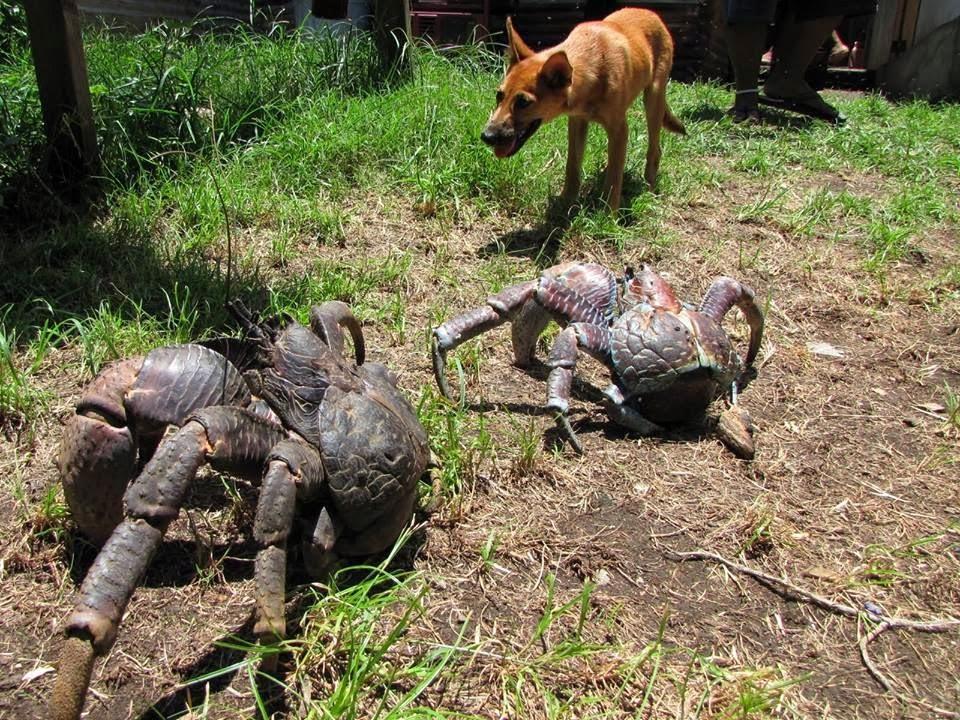 Meet The Coconut Crab