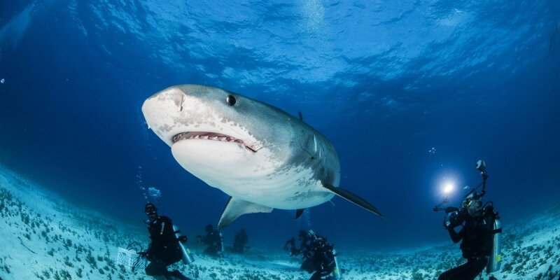 Tiger Shark: Close Up