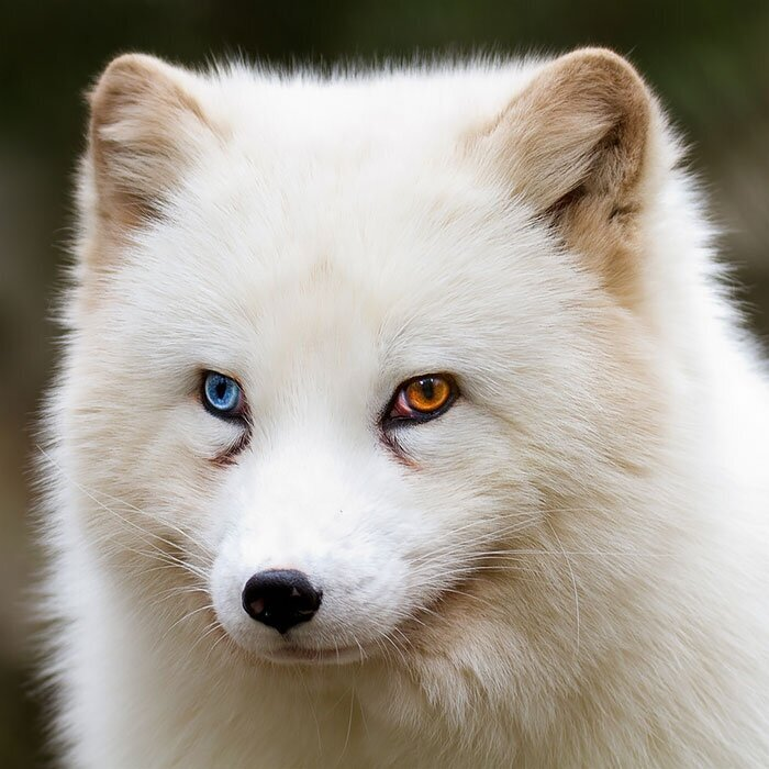 80 Unusually Beautiful Animals With Different-Colored Eyes