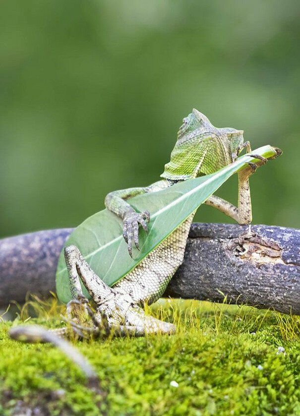 Dragon Lizard Caught Playing Leaf Guitar