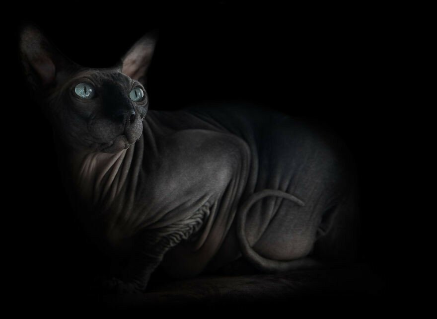 The Odd beauty of Sphynxes
