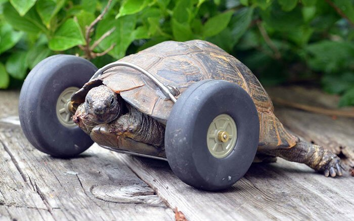 Tortoise Whose Legs Were Eaten By Rats Gets Prosthetic Wheels