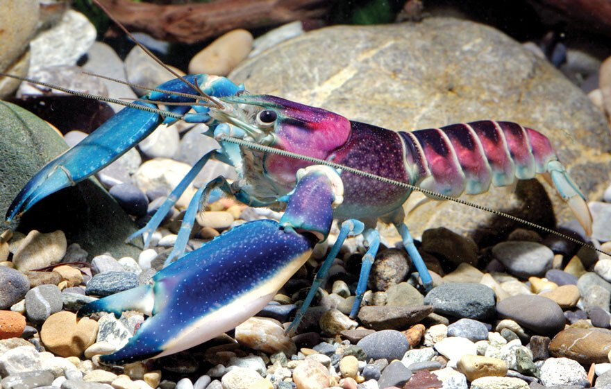 New 'Galaxy' Crayfish Discovered In Indonesia