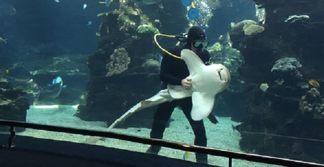 Shark At French Aquarium Loves Belly Rubs Like A Dog