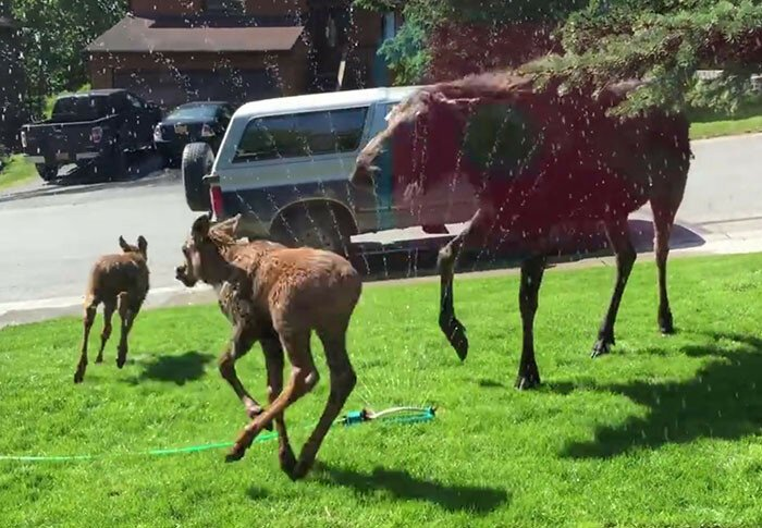 Moose Family Jumps For Joy When A Woman Saves Them From Heatwave